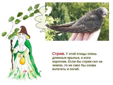Какая птица никогда не садится на землю? Стриж. У этой птицы очень длинные кр...
