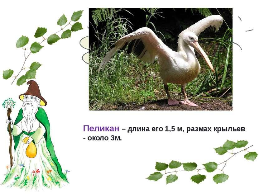 Какая птица нашей страны самая большая? Пеликан – длина его 1,5 м, размах кры...