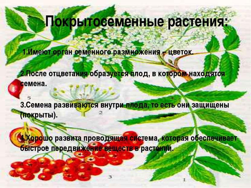 Покрытосеменные растения: 1.Имеют орган семенного размножения – цветок. 2.Пос...