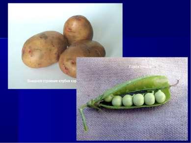 Внешнее строение клубня картофеля Горох плоды