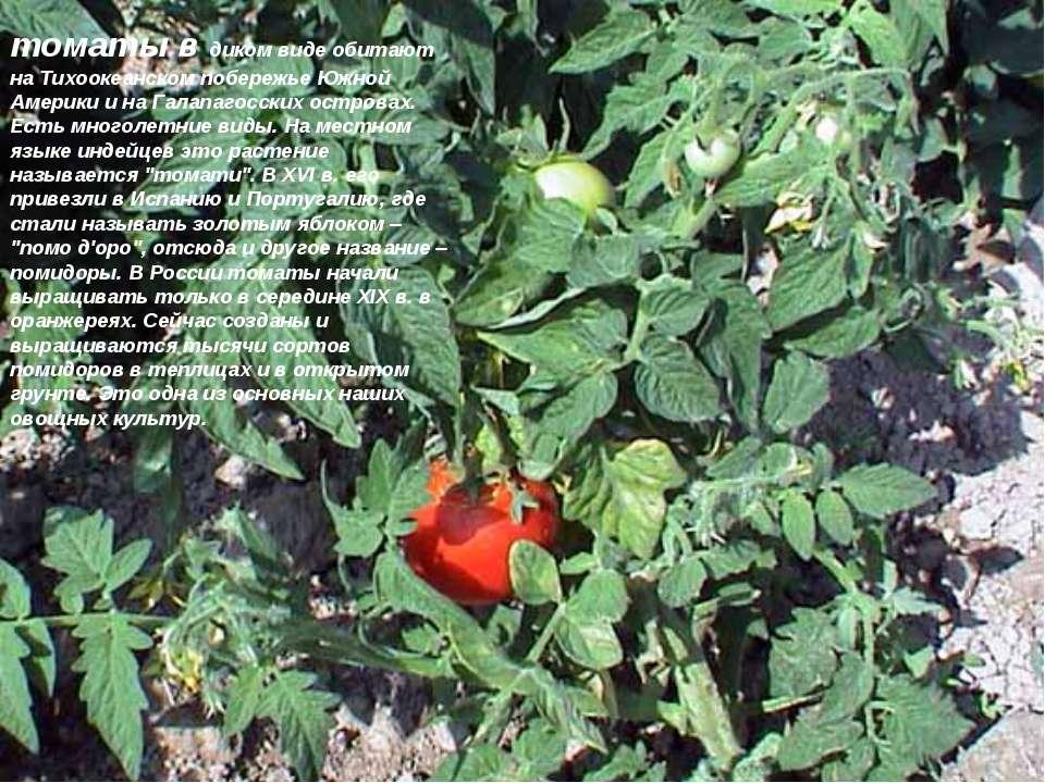томаты в диком виде обитают на Тихоокеанском побережье Южной Америки и на Гал...