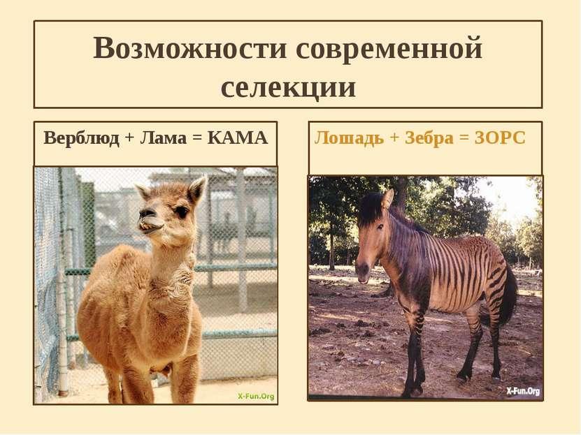 Возможности современной селекции Верблюд + Лама = КАМА Лошадь + Зебра = ЗОРС