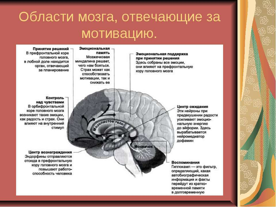 Области мозга, отвечающие за мотивацию.