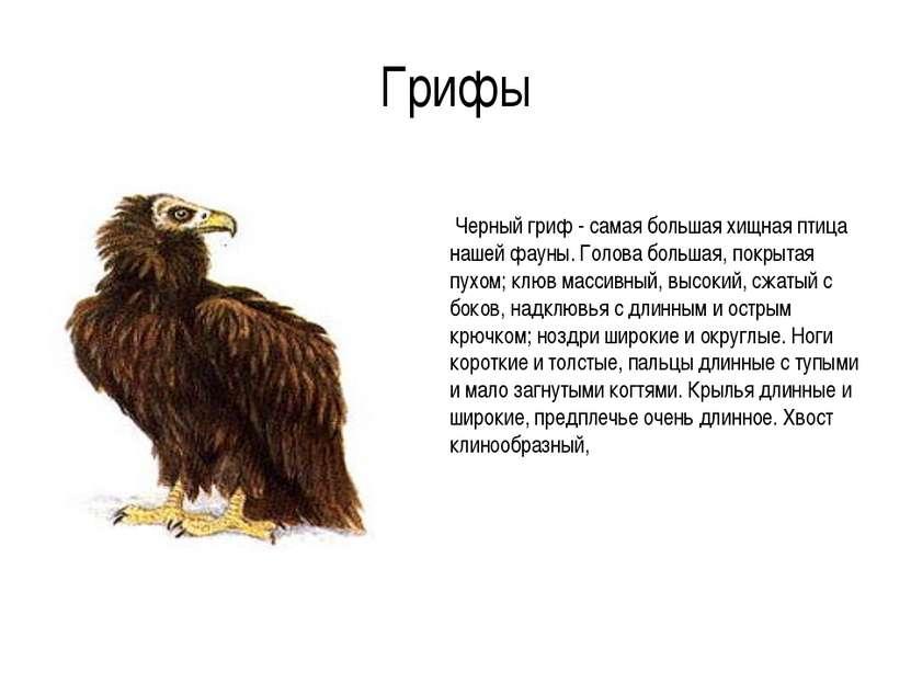 Грифы Черный гриф - самая большая хищная птица нашей фауны. Голова большая, п...