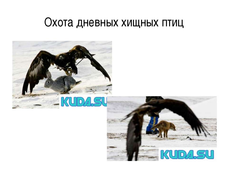 Охота дневных хищных птиц