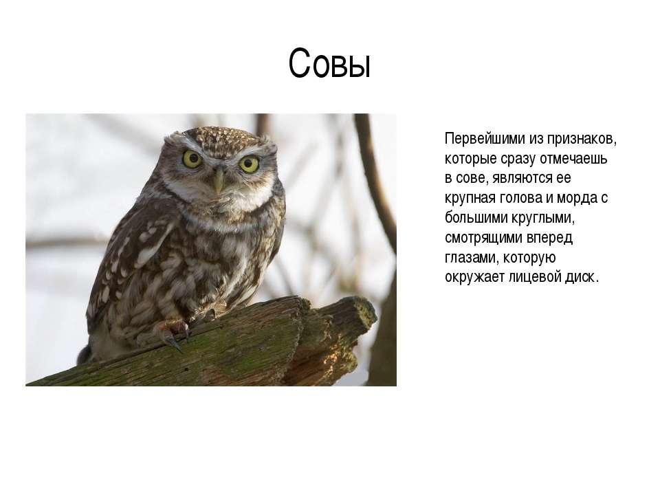 Совы Первейшими из признаков, которые сразу отмечаешь в сове, являются ее кру...