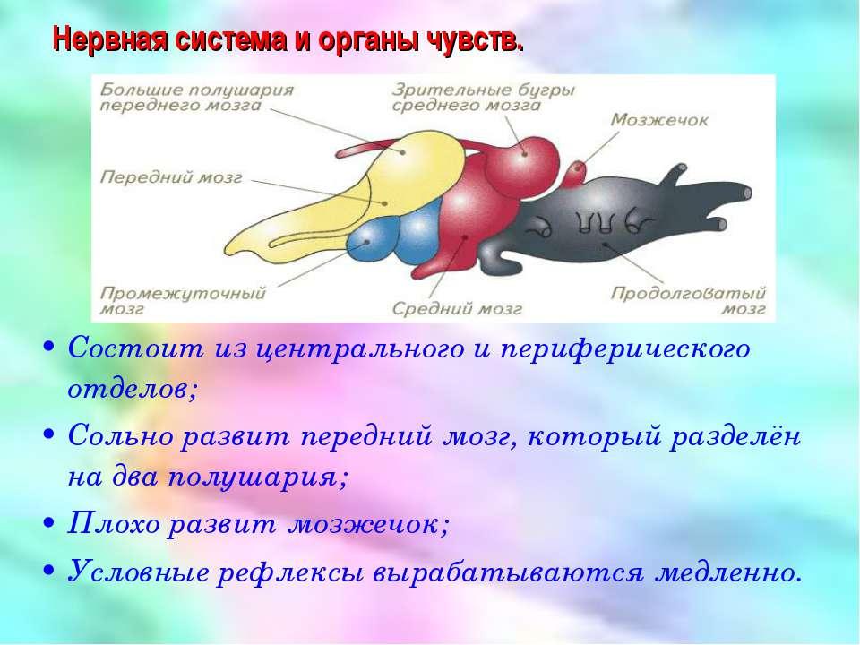 Нервная система и органы чувств. Состоит из центрального и периферического от...