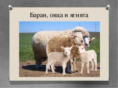 Баран, овца и ягнята