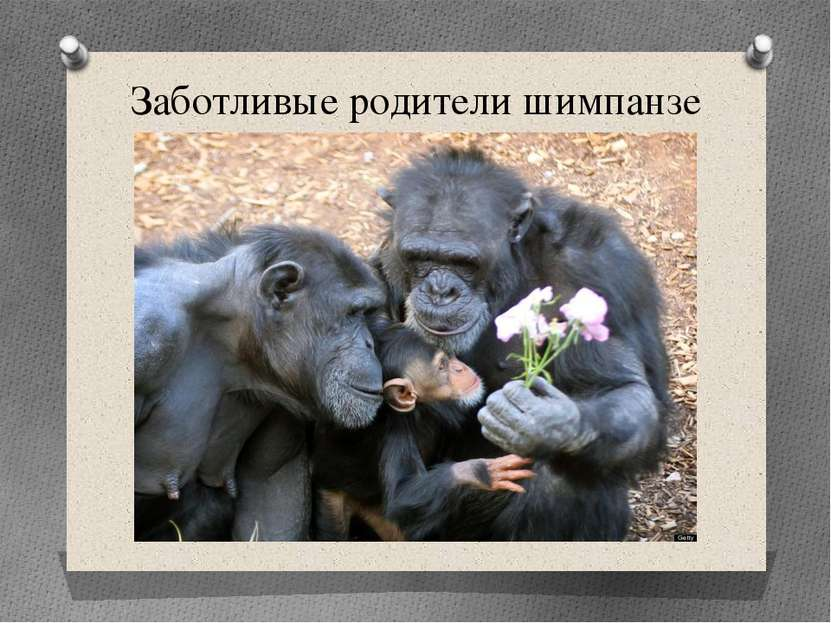 Заботливые родители шимпанзе