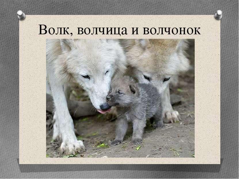 Волк, волчица и волчонок