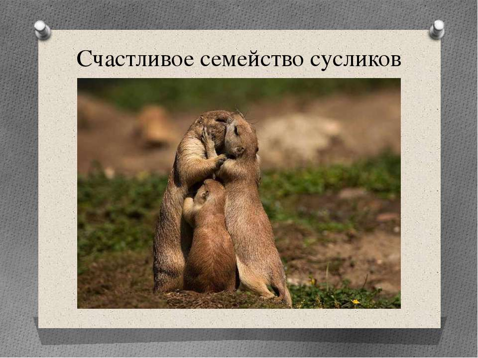 Счастливое семейство сусликов