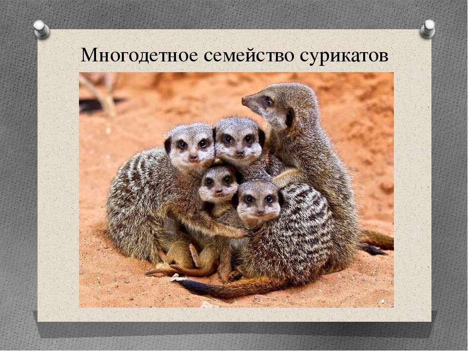 Многодетное семейство сурикатов