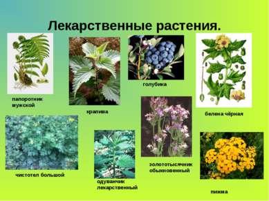 Лекарственные растения. папоротник мужской крапива голубика белена чёрная чис...