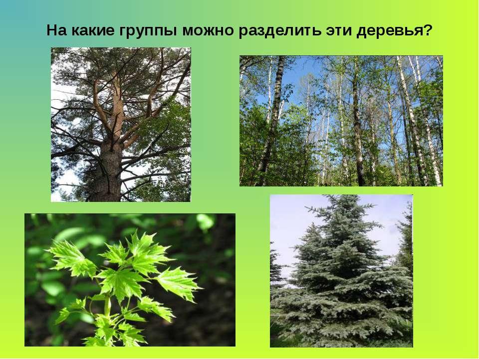 На какие группы можно разделить эти деревья?