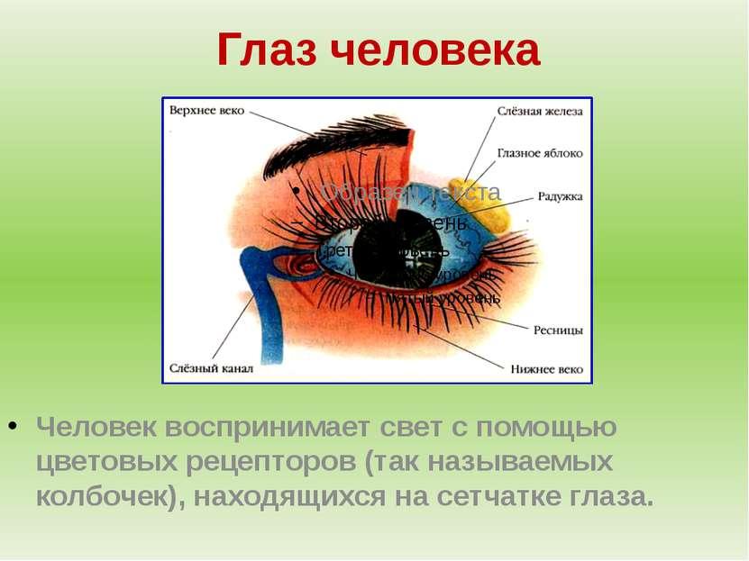 Глаз человека Человек воспринимает свет с помощью цветовых рецепторов (так на...