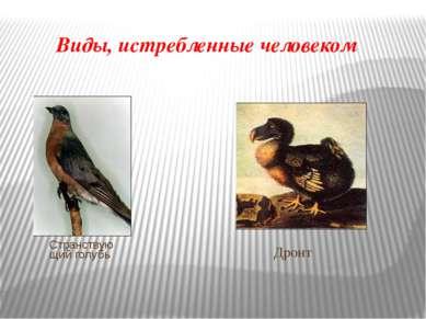 Виды, истребленные человеком Странствующий голубь Дронт