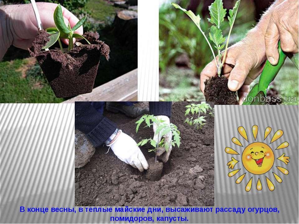 В конце весны, в теплые майские дни, высаживают рассаду огурцов, помидоров, к...