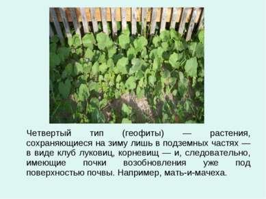 Четвертый тип (геофиты) — растения, сохраняющиеся на зиму лишь в подземных ча...