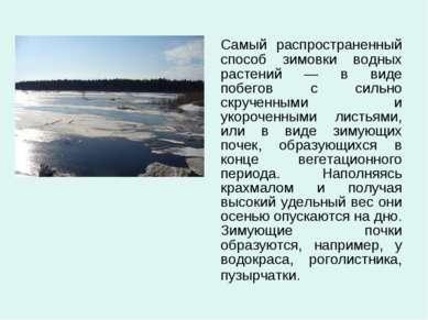 Самый распространенный способ зимовки водных растений — в виде побегов с силь...