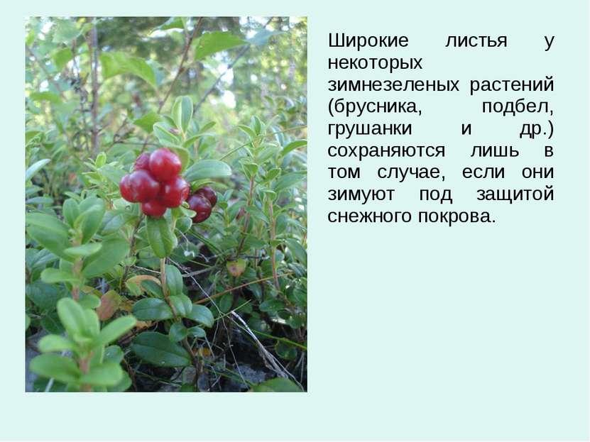 Широкие листья у некоторых зимнезеленых растений (брусника, подбел, грушанки ...