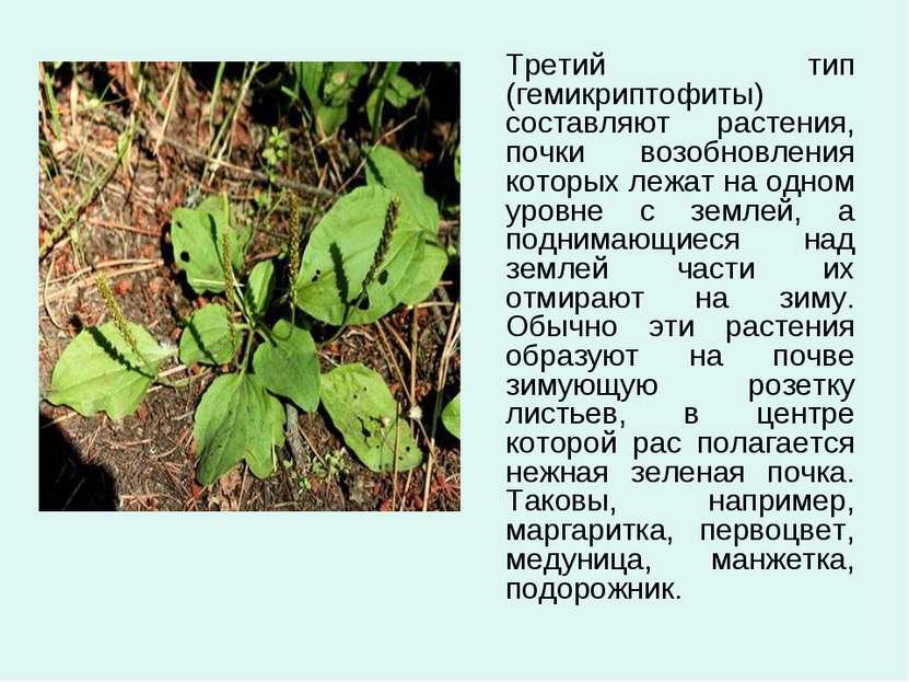 Третий тип (гемикриптофиты) составляют растения, почки возобновления которых ...