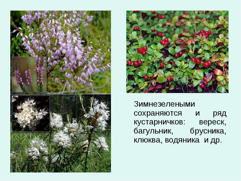 Зимнезелеными сохраняются и ряд кустарничков: вереск, багульник, брусника, кл...