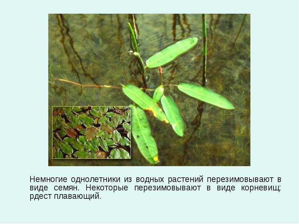 Немногие однолетники из водных растений перезимовывают в виде семян. Некоторы...