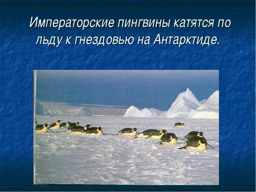Императорские пингвины катятся по льду к гнездовью на Антарктиде.