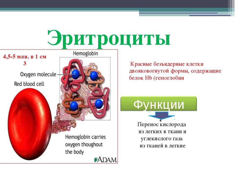 Эритроциты Красные безъядерные клетки двояковогнутой формы, содержащие белок ...