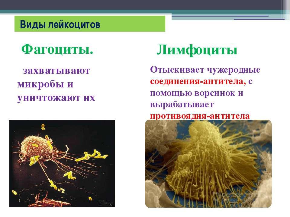 Виды лейкоцитов Фагоциты. захватывают микробы и уничтожают их Лимфоциты Отыск...