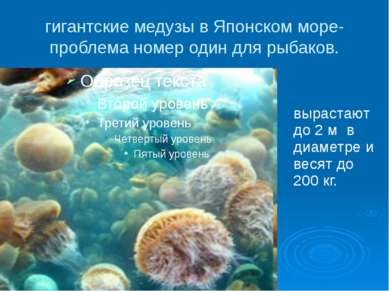 гигантские медузы в Японском море- проблема номер один для рыбаков. вырастают...