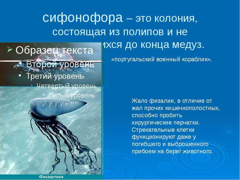сифонофора – это колония, состоящая из полипов и не отпочковавшихся до конца ...