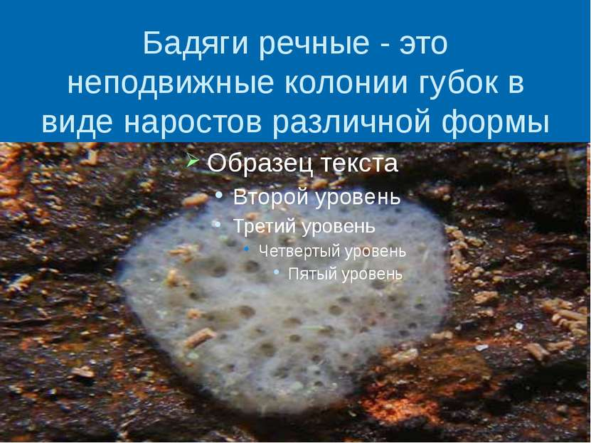 Бадяги речные - это неподвижные колонии губок в виде наростов различной формы