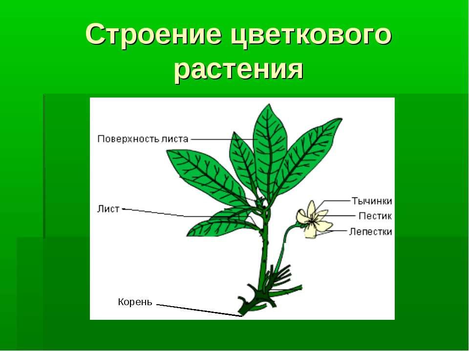 Строение цветкового растения Корень Корень