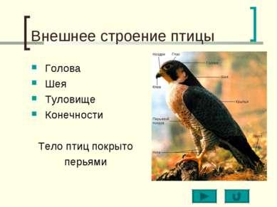 Внешнее строение птицы Голова Шея Туловище Конечности Тело птиц покрыто перьями