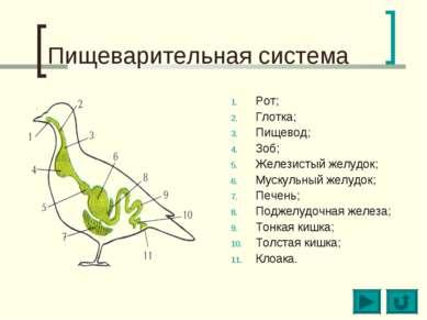 Пищеварительная система Рот; Глотка; Пищевод; Зоб; Железистый желудок; Мускул...