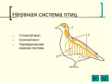 Нервная система птиц Головной мозг; Спинной мозг; Периферическая нервная сист...