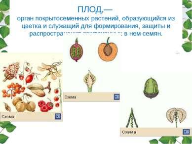 ПЛОД,— орган покрытосеменных растений, образующийся из цветка и служащий для ...