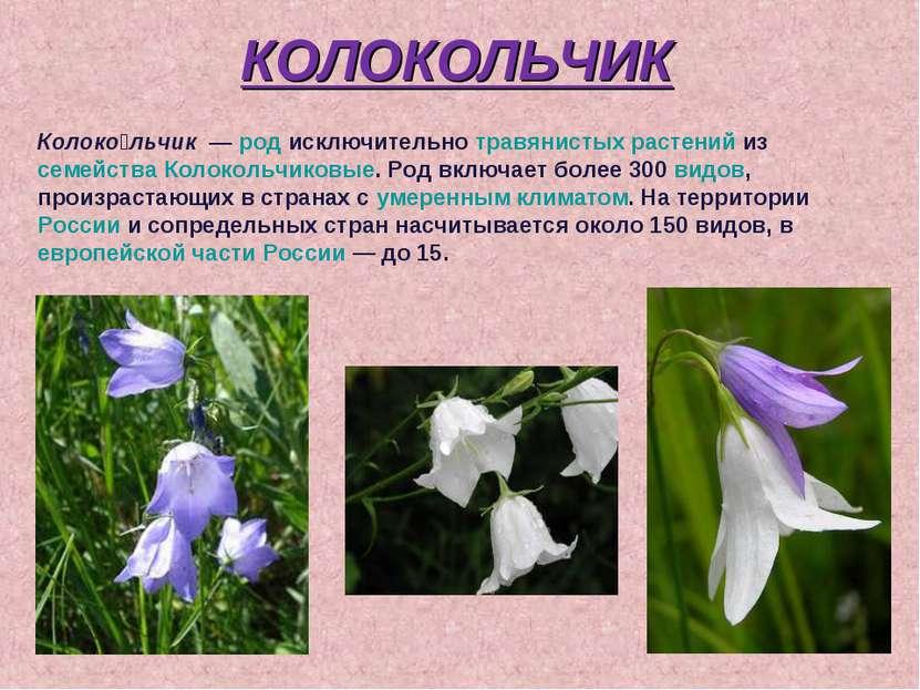 КОЛОКОЛЬЧИК Колоко льчик — род исключительно травянистых растений из семейст...