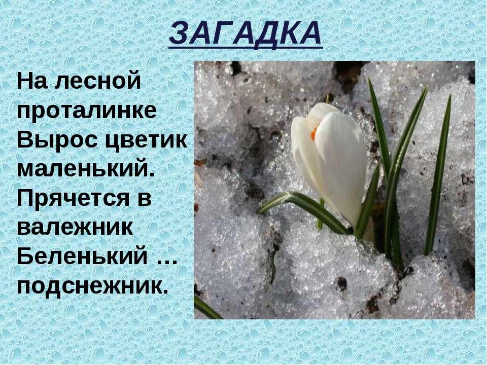 ЗАГАДКА На лесной проталинке Вырос цветик маленький. Прячется в валежник Беле...