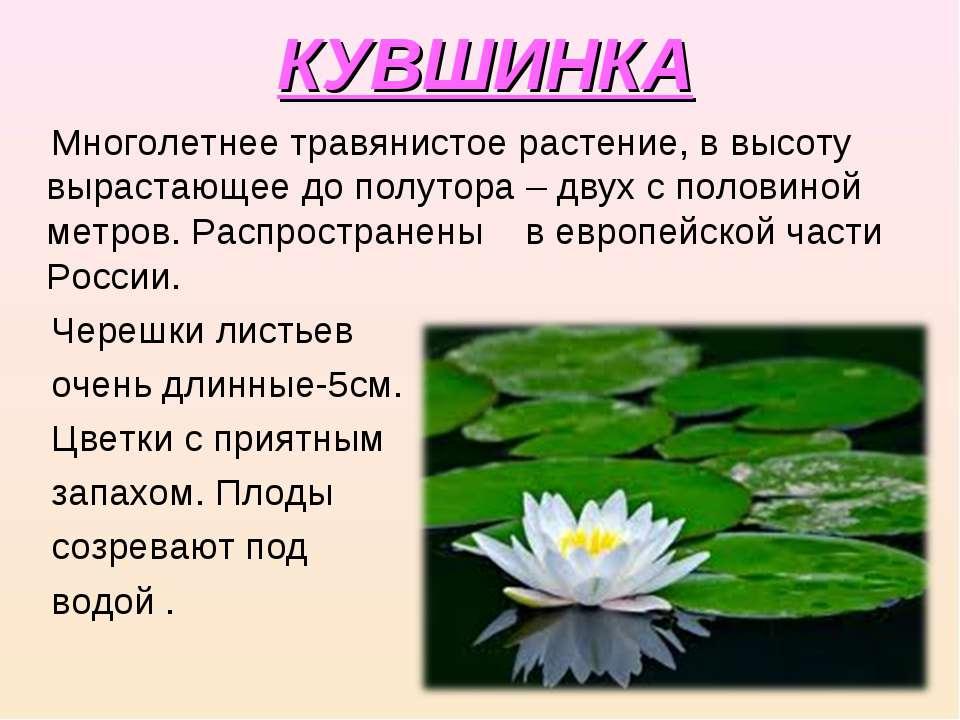 КУВШИНКА Многолетнее травянистое растение, в высоту вырастающее до полутора –...