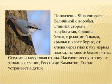 Поползень - Sitta europaea. Величиной с воробья. Спинная сторона голубоватая,...