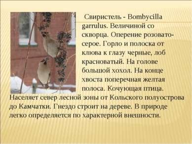 Свиристель - Воmbусillа garrulus. Величиной со скворца. Оперение розовато- се...