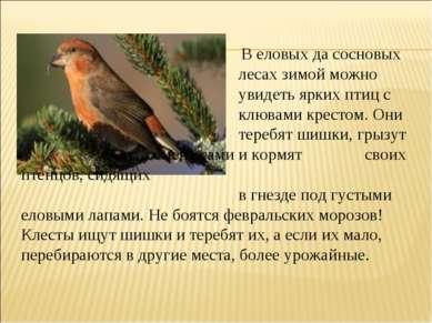 В еловых да сосновых лесах зимой можно увидеть ярких птиц с клювами крестом. ...
