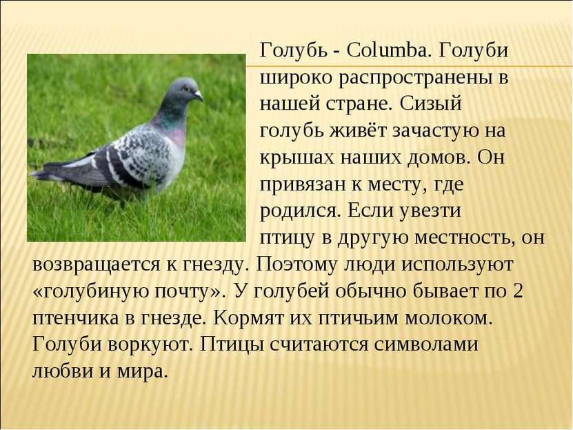 Голубь - Columba. Голуби широко распространены в нашей стране. Сизый голубь ж...