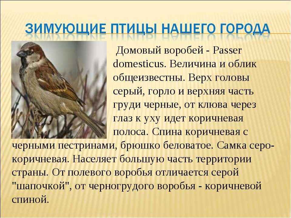Домовый воробей - Passer domesticus. Величина и облик общеизвестны. Верх голо...