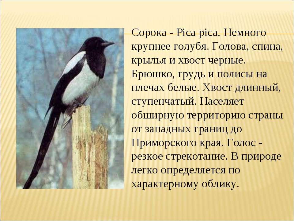 Сорока - Pica pica. Немного крупнее голубя. Голова, спина, крылья и хвост чер...