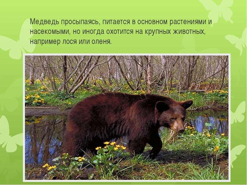 Медведь просыпаясь, питается в основном растениями и насекомыми, но иногда ох...