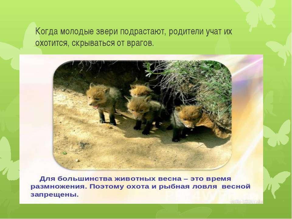 Когда молодые звери подрастают, родители учат их охотится, скрываться от врагов.
