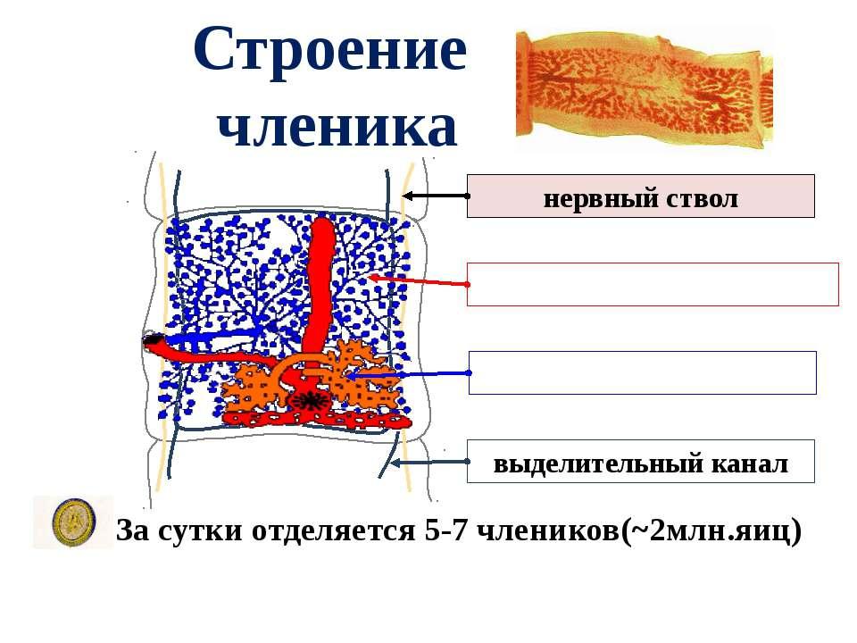Строение членика За сутки отделяется 5-7 члеников(~2млн.яиц) нервный ствол вы...